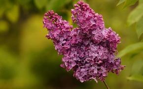 Picture macro, lilac, bokeh, inflorescence