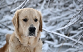 Wallpaper head, dog, snow, nature, Retriever, winter, face, dog, breed, snowflakes, nose, eyes, forest