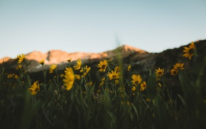 Wallpaper mountains, background, focus, yellow flowers