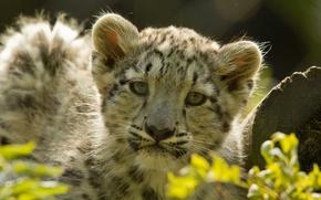 Picture leaves, kitty, predator, leopard, IRBIS, log