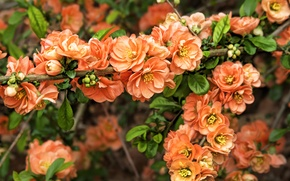 Picture branches, spring, buds, flowering, blossom, Spring, Japanese quince, Flowering trees