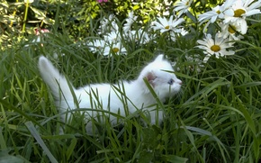 Picture white, grass, kitty, chamomile, fluffy