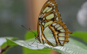 Picture nature, sheet, butterfly, wings