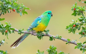 Wallpaper branches, background, bird, parrot, Rumped parrot