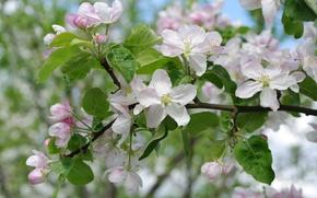 Wallpaper macro, branches, Apple, spring