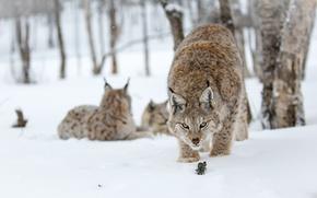 Picture look, snow, trees, trees, eyes, snowing, snow lynx, snow lynx