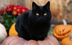 Picture cat, pumpkin, Halloween, black cat