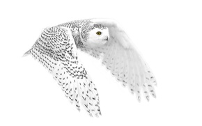 Picture background, owl, flight, polar