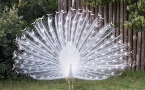 Picture bird, peacock, barben., paon