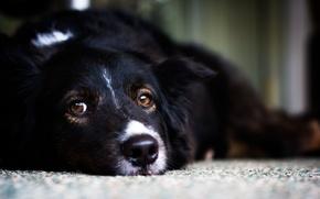 Wallpaper white, look, black, dog, dog, lies, white, black, looks, dog