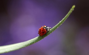 Picture drops, macro, Rosa, ladybug, beetle, insect, a blade of grass, Wallpaper from lolita777