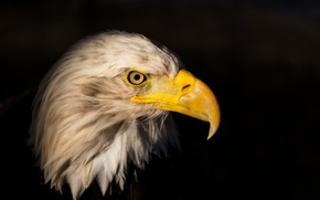Wallpaper look, beak, Orlan, bird