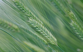 Picture field, macro, spring, spikelets