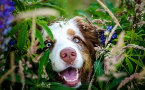 Picture look, face, leaves, flowers, Dog, nose