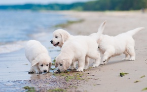 Picture dogs, beach, puppies, Quartet