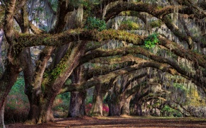 Picture trees, spring, South Carolina, USA, state, Charleston