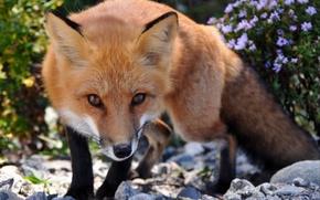 Picture look, Fox, Fox, beast