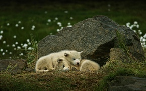 Picture dogs, stone, puppies, a couple, Greenland, sleeping, Greenland dog