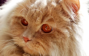 Picture cat, kitty, fluffy, red