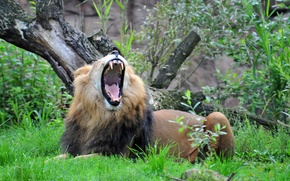 Picture cat, grass, Leo, mouth, yawns