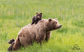 Picture greens, grass, bear, family, bears, small, rugrats