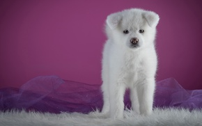 Picture white, background, pink, dog, puppy, fur, is, cutie, photoshoot, Akita inu, Akita, organza