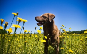 Picture summer, flowers, dog