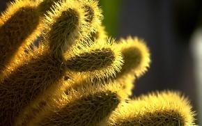 Wallpaper Needles, cactus, plant
