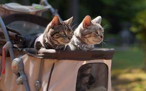 Wallpaper mustache, look, stroller, cats