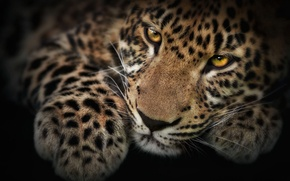 Picture mustache, look, Wallpaper, Leopard, paw, photoshop, muzzle, kitty, spotted, Panthera pardus