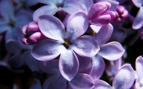 Picture flowers, lilac, five lepestkov