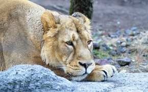 Picture sadness, cat, look, stone, lioness
