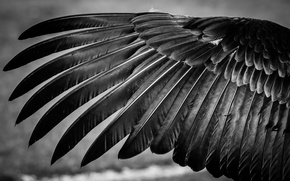 Picture bird, feathers, wing, black and white