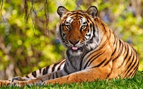 Picture language, grass, Tiger