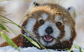 Picture winter, face, snow, bamboo, red Panda, firefox, red Panda, ©Tambako The Jaguar