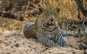 Picture sand, predator, leopard, wild cat