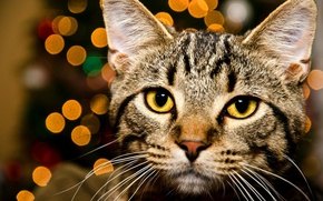 Picture cat, eyes, cat, look, face, lights, yellow, striped, bokeh