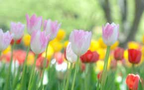 Picture flowers, nature, Wallpaper, focus, tulips, widescreen Wallpaper, flowers, macro photo, macro flowers, the Wallpapers, hd ...