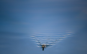 Wallpaper water, duck, nature