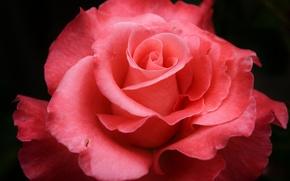 Picture flower, macro, pink, rose, petals