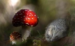 Picture barb, mushrooms, mushroom, hedgehog