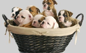 Picture dogs, basket, baby, puppy