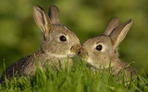 Picture animals, summer, grass, rabbits