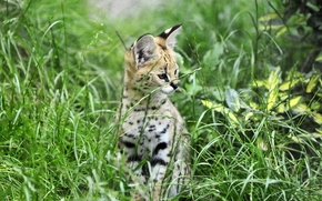 Picture cat, grass, cub, kitty, Serval