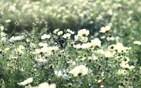 Picture flowers, beauty, kosmeya, stems, light, glade, heat, field, flowering, rays, light, nature, plants, white, petals, ...