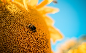 Wallpaper flower, macro, bee, Sunflower, bumblebee