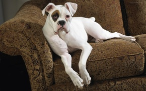 Picture Wallpaper, dog, chair