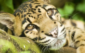 Picture mustache, look, face, stay, lies, clouded leopard