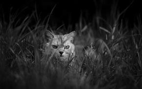 Picture grass, cat, look, Koshak, Tomcat