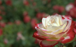 Picture field, nature, Wallpaper, rose, petals, meadow